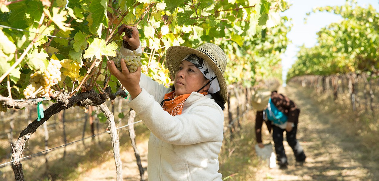 woman picking grapes in the valley